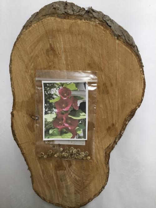 Garden Flower Hollyhock Seeds Lucy Erridge