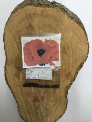 Garden Flower Red Poppy Seeds Lucy Erridge